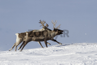 The two reindeer running on snow-covered tundra