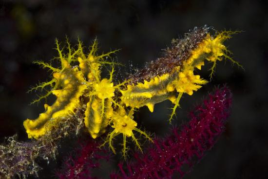 Gelbe Seegurke, Indonesien