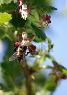Biene an Stachelbeerblüte