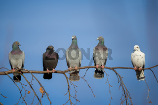 pigeons sitting on the branch