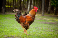 Rhode Island Red rooster with beautiful feathers