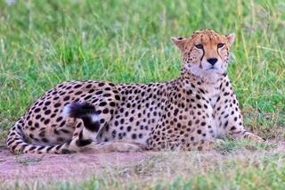 beautiful cheetah resting at the masai mara