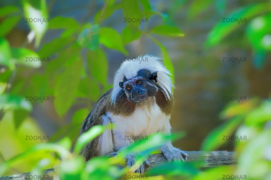 Wild cotton-top tamarin