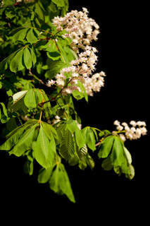blooming Aesculus tree on black