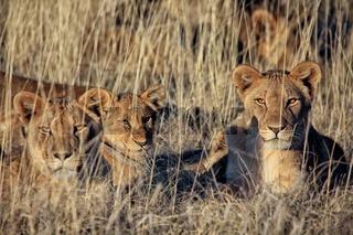 lions at etosha national park namibia