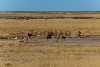 Group gemsbok