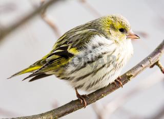 Female black-headed goldfinch