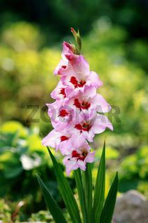Pink gladiolus bloomed.