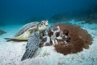 Gruene Meeresschildkroete, Komodo Nationalpark