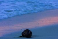 Kokosnuss am Strand von Ko Samui