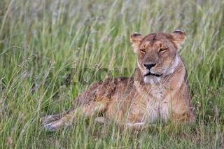 beautiful lioness resting at the masai mara national park