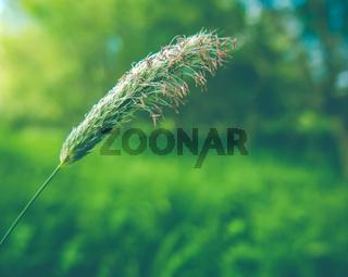 Summer Grass With Seeds