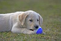 Labrador Retriever Welpe spielt mit ball