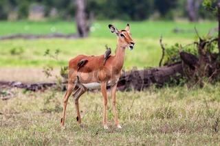 impala with birds at masai mara national park