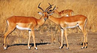 Liebkosende männliche Impalas, Schwarzfersenantilopen, Sambia, South Luangwa Nationalpark, Aepyceros melampus