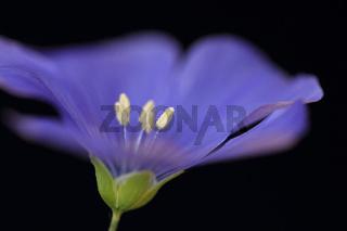 Ausdauernder Lein (Linum perenne)