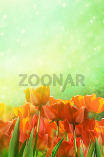 Spring tulips in field