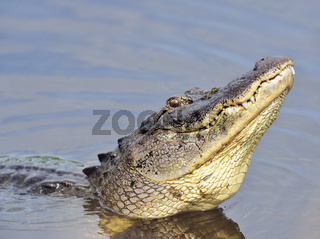 Alligator Growling for a Mate