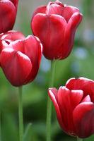 Rote Tulpen