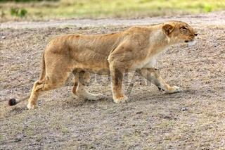 lioness hunting at masai mara national park kenya africa