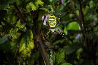 Wespenspinne (Argiope bruennichi).