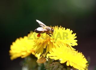 Biene mit Pollen in Löwenzahnblüte