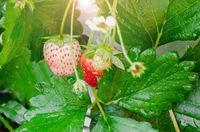 Fresh organic strawberries.