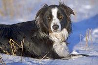 Border Collie Ruede liegt im Schnee
