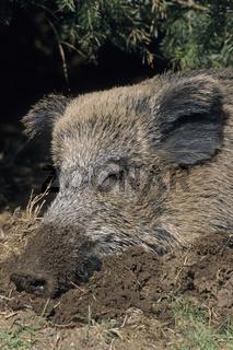 Wildschweinbache liegt schlafend im Kessel - (Schwarzwild - Wildschwein) / Wild sow sleeping under spruce branches - (Wild Hog - European Boar) / Sus scrofa