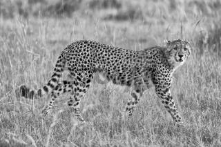a beautiful young cheetah hunting at the masai mara national park kenya (black and white)