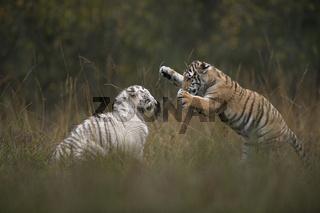 Keilerei... Königstiger *Panthera tigris*