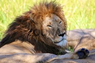 male lion resting at the masai mara national park kenya