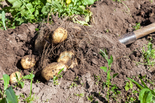 Digging potatoes with shovel on the field from soil. Potatoes harvesting in autumn