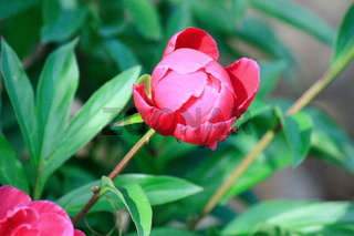 Pfingstrose, Blütenknospe