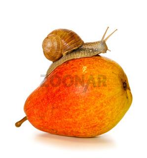 Garden snail on fresh pear isolated .