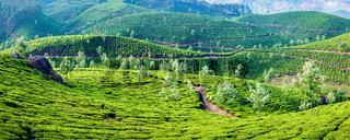 Panorama of green tea plantations on sunrise in Kerala, India