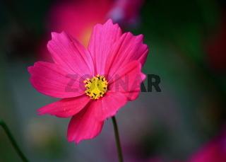 cosmea, rote Blüte