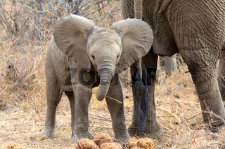 young elephant at kruger national park