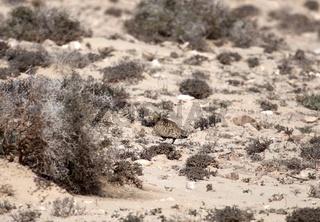 Sandflughuhn in der Nähe von La Pared, Fuerteventura, Kanaren, Spanien