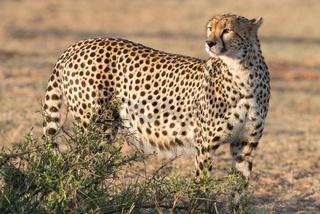 Cheetah,Gepard,Acinonyx jubatus,femal,