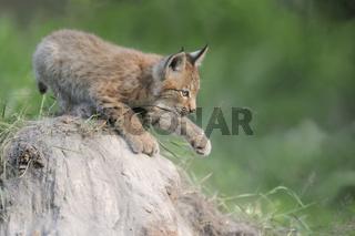 verspielt... Eurasischer Luchs *Lynx lynx*