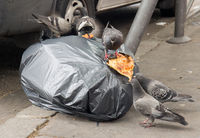 Pigeons feed on the garbage on the street