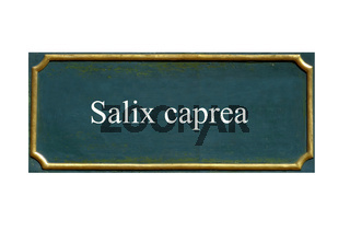 schild salweide, palmweide, salix caprea, einheimisches gewaechs