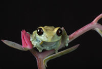Maroon Eyed Tree Frog