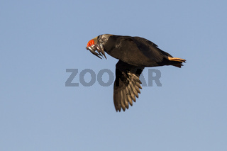 tufted puffin a transitional dress flying with a fish in its beak summer day