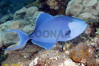 Redtooth Triggerfish, Odonus niger.