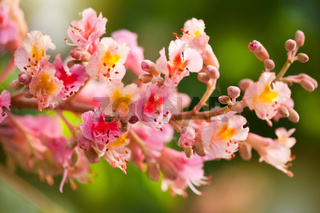 red chestnut tree blossoms