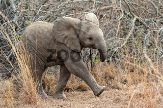 baby elephant at kruger national park