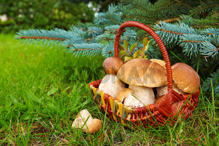 Fresh porcini mushrooms in autumn forest.