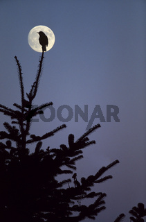 Amsel Maennchen auf seiner Singwarte vor dem Vollmond - (Schwarzdrossel) / Common Blackbird adult male on his song post in front of the full moon - (Eurasian Blackbird - Merl) / Turdus merula